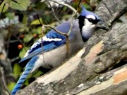 14th Oct 2014 - Blue Jay Kind of Day