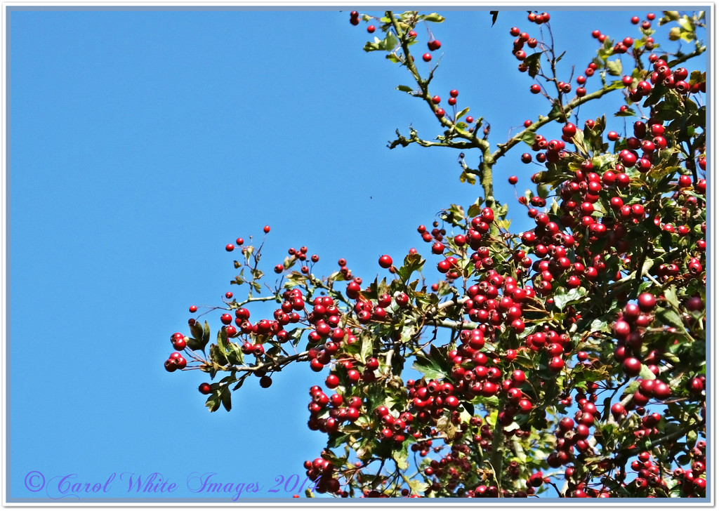 Red Berries And Blue Sky by carolmw