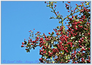 17th Oct 2014 - Red Berries And Blue Sky