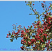 Red Berries And Blue Sky