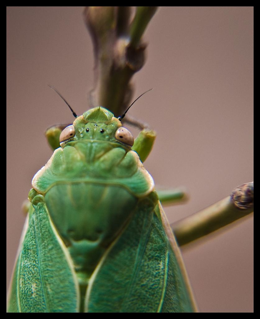 Bladder Cicada by annied
