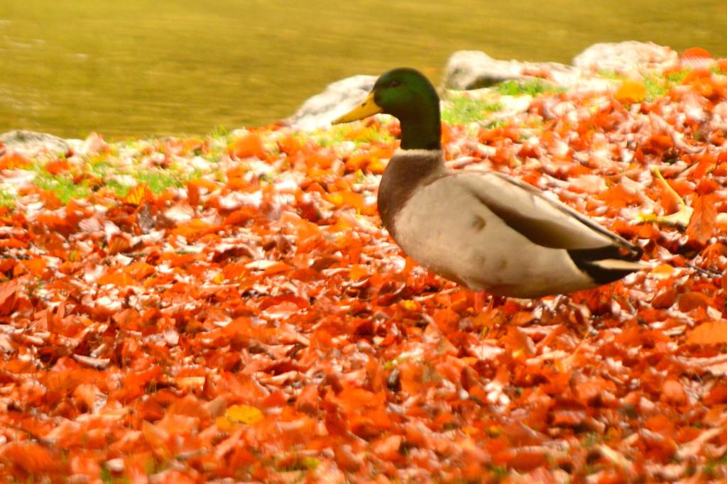 Mallard in Autumn Leaves by kareenking