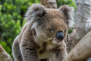 11th Oct 2014 - Awaked koala