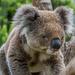 Awaked koala by gosia