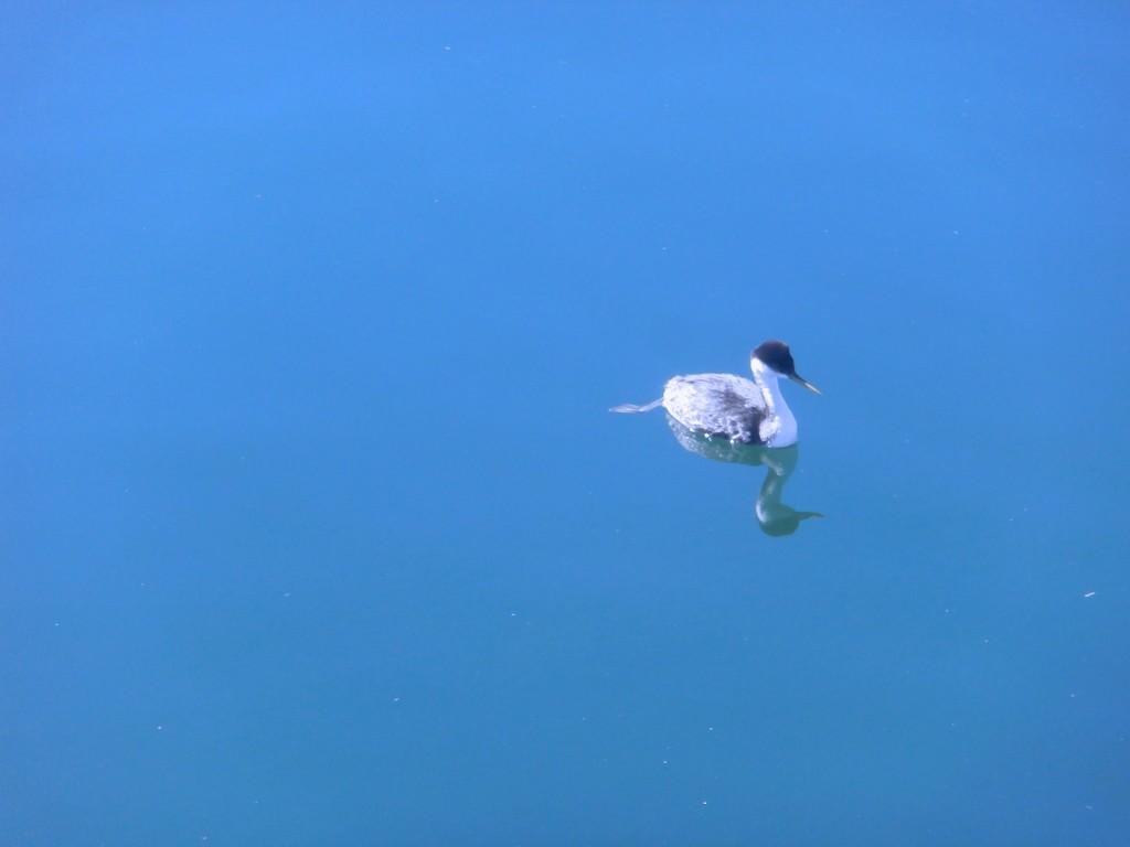 Grebe adrift by pandorasecho