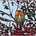 Robin And Red Berries by carolmw