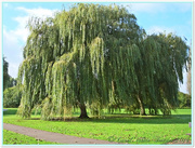 20th Oct 2014 - Weeping Willows