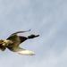 Duck - 20-10 by barrowlane