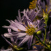 Asters playing nice, nice by shesnapped