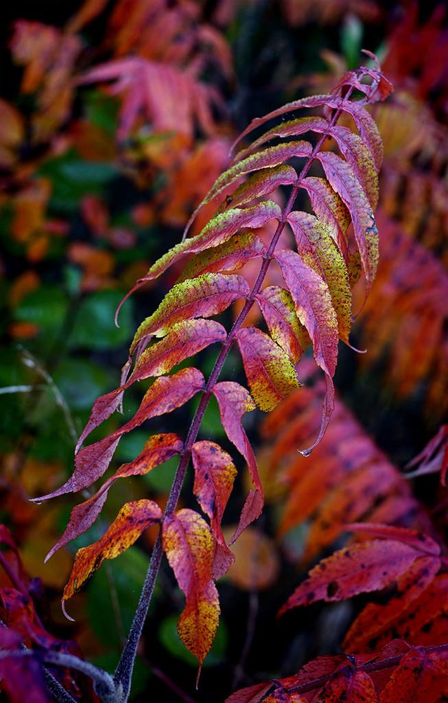 Sumac Bush by gardencat