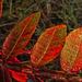 Dewy Red Leaves