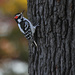 Woodpecker by tosee