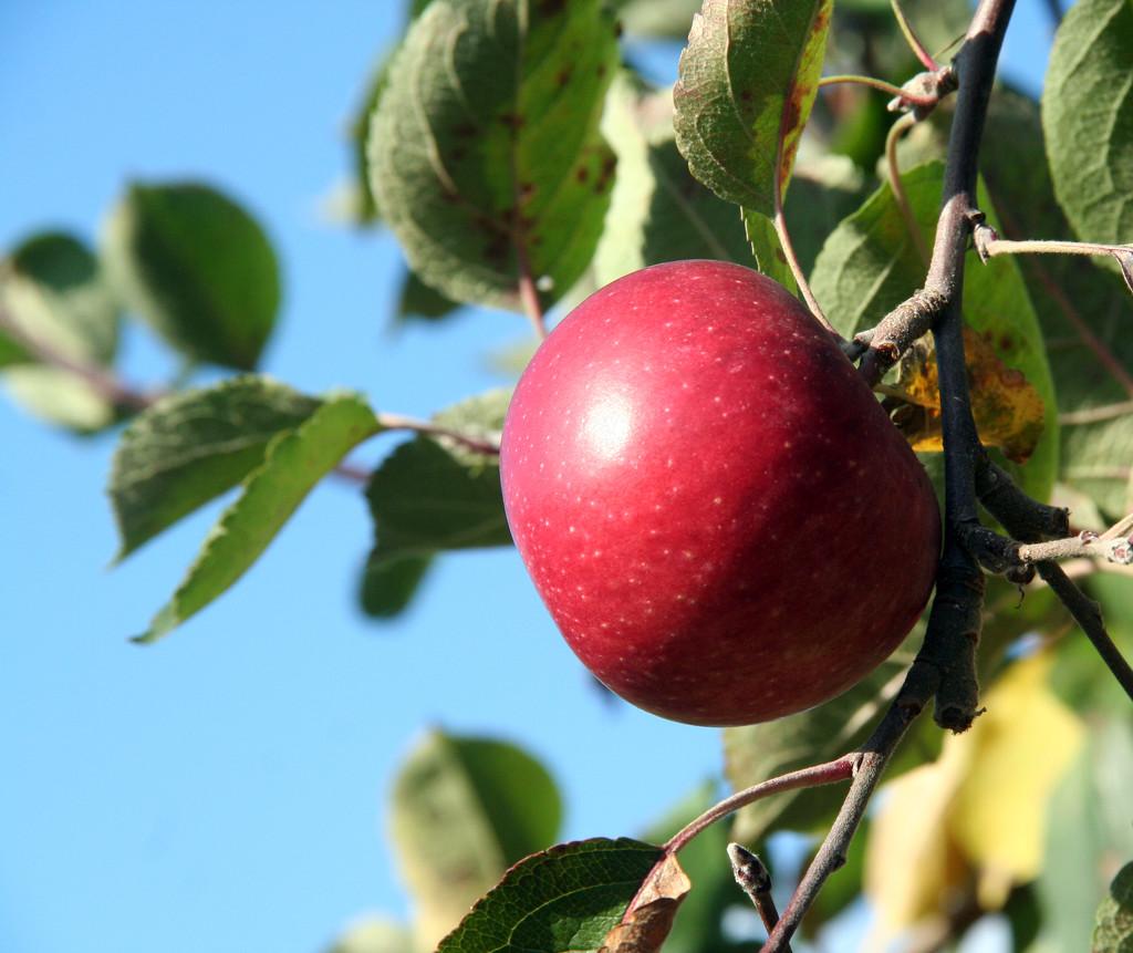 Apple by hjbenson