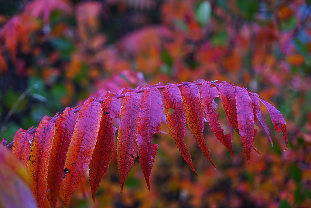 More Sumac by gardencat