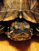 21st Oct 2014 - Turtle Love