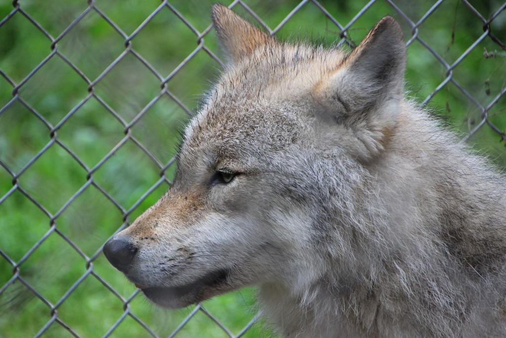 Wolf! by shepherdman