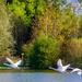 Three Swans A Flying