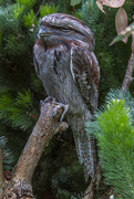 18th Oct 2014 - Tawny frogmouth