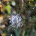 Last spider hanging