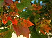 24th Oct 2014 - Leaf Changing Time