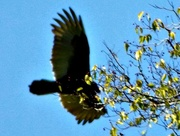 23rd Oct 2014 - Soaring Over the Trees
