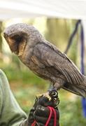 "25th Oct 2014 - ""Black"" Barn Owl"