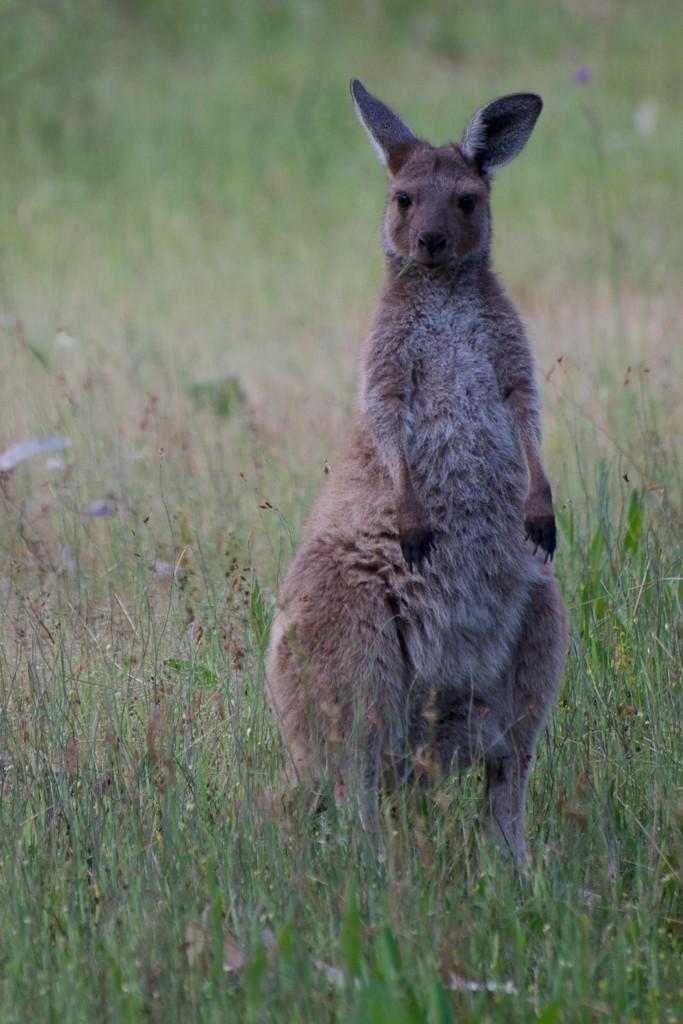 Look at Me!  I'm Kid Kangaroo! by taffy