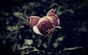 27th Oct 2014 - Dusky rose