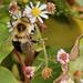 Fuzzy bee