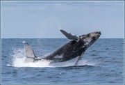 26th Oct 2014 - Humpback whale