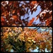 Our Red Maple tree by bruni