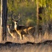 Chital stag and doe