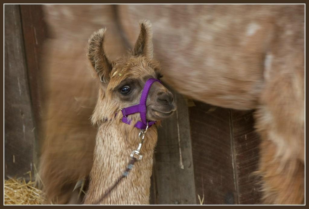 Baby Llama by gosia