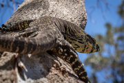 31st Oct 2014 - Cranky lace monitor