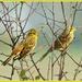 Two in the bush by rosiekind