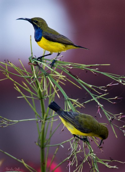 Olive backed sunbird in the spotlight by bella_ss