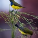 Olive backed sunbird in the spotlight