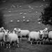 b&w baa lambs