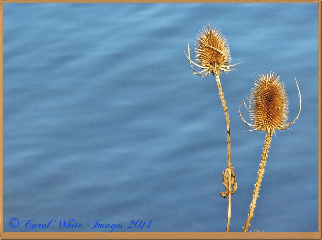 Teasels And Blue Water by carolmw