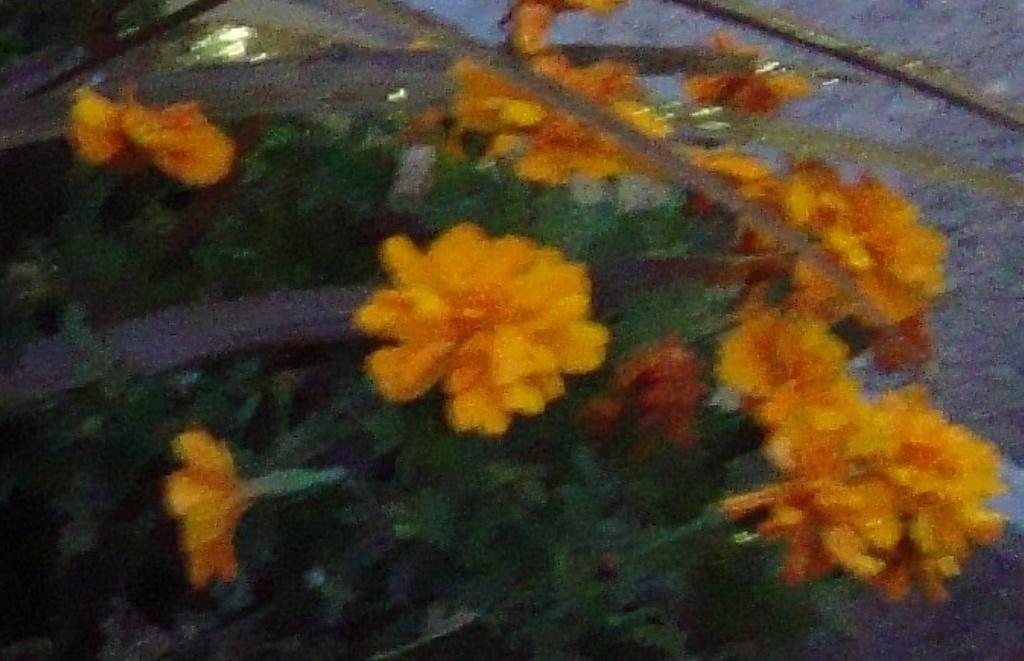 365 Blur-Marigold DSC05555 by annelis