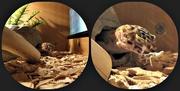 2nd Nov 2014 - Gecko Eating A Locust