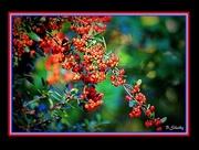1st Nov 2014 - Red Berries