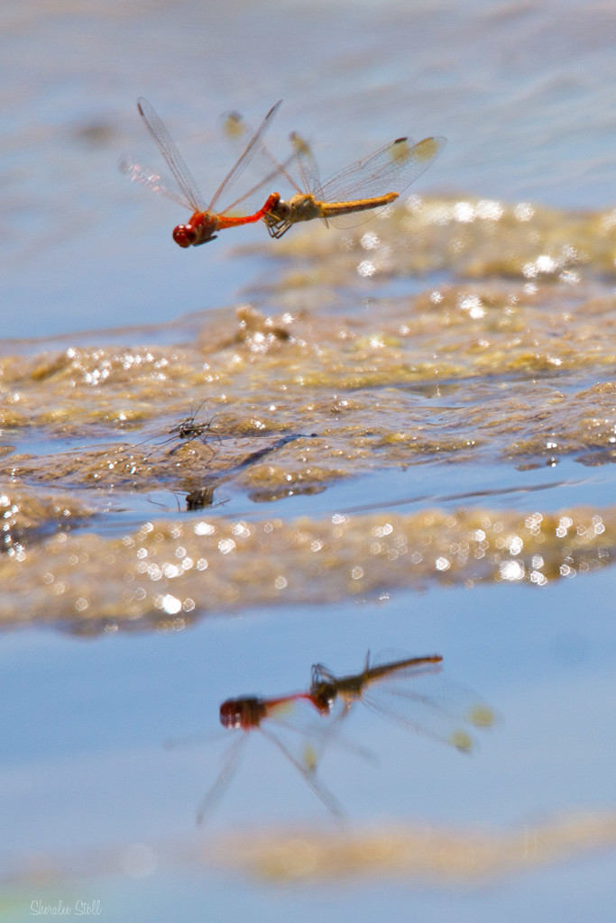 Double dragonfly by bella_ss