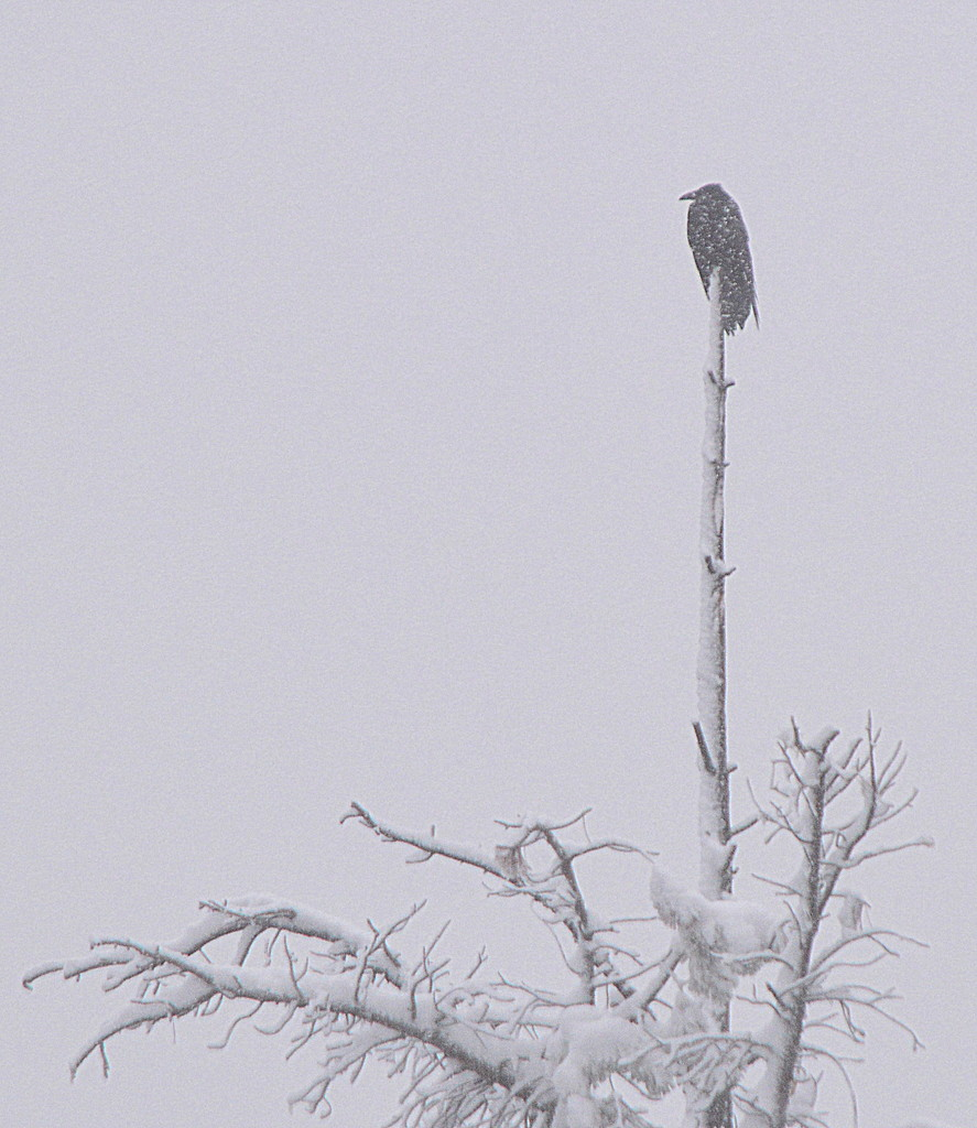 Snow-Covered Raven by kareenking