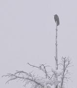 1st Nov 2014 - Snow-Covered Raven
