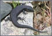 1st Nov 2014 - King's Skink