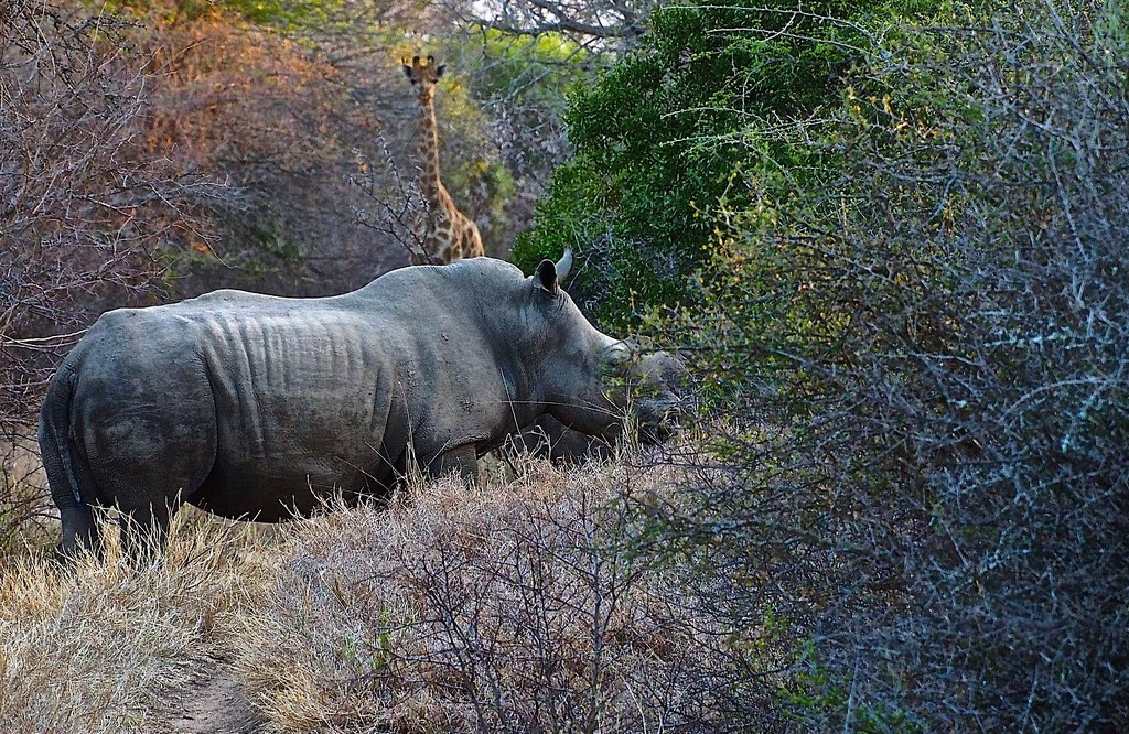 White Rhino at center stage by redy4et