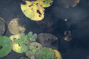 2nd Nov 2014 - Waterlily leaves
