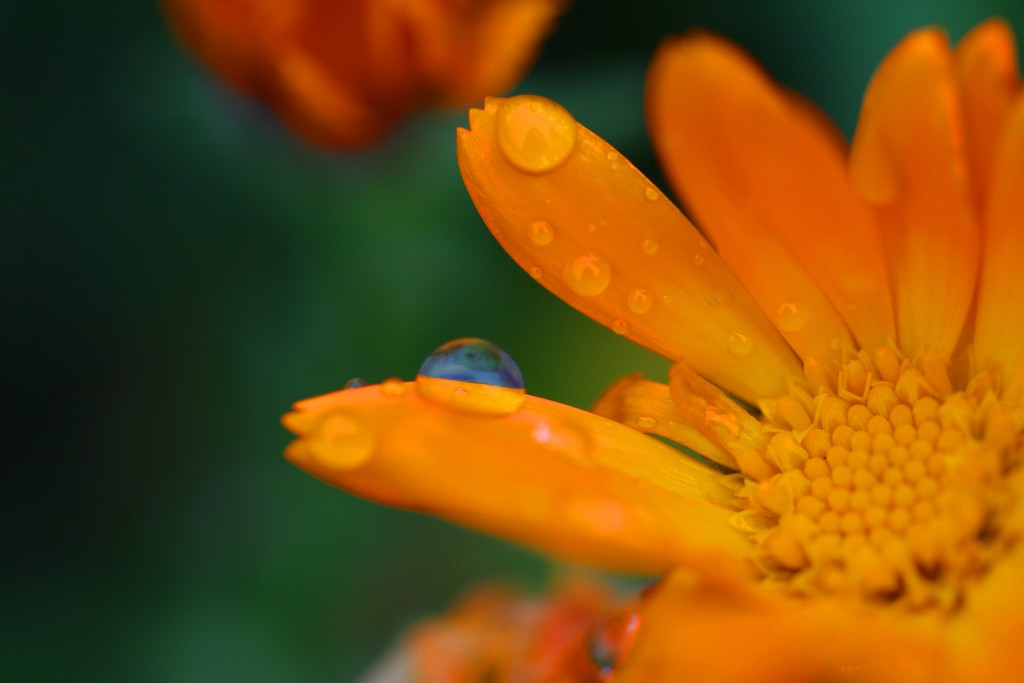 Rain drop on calendula flower by sarahlh