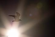 2nd Nov 2014 - Seagull Sunburst